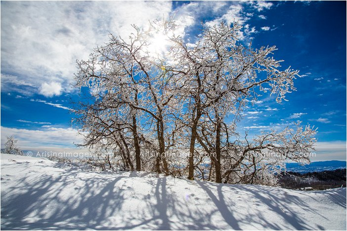 snow covered aspen trees