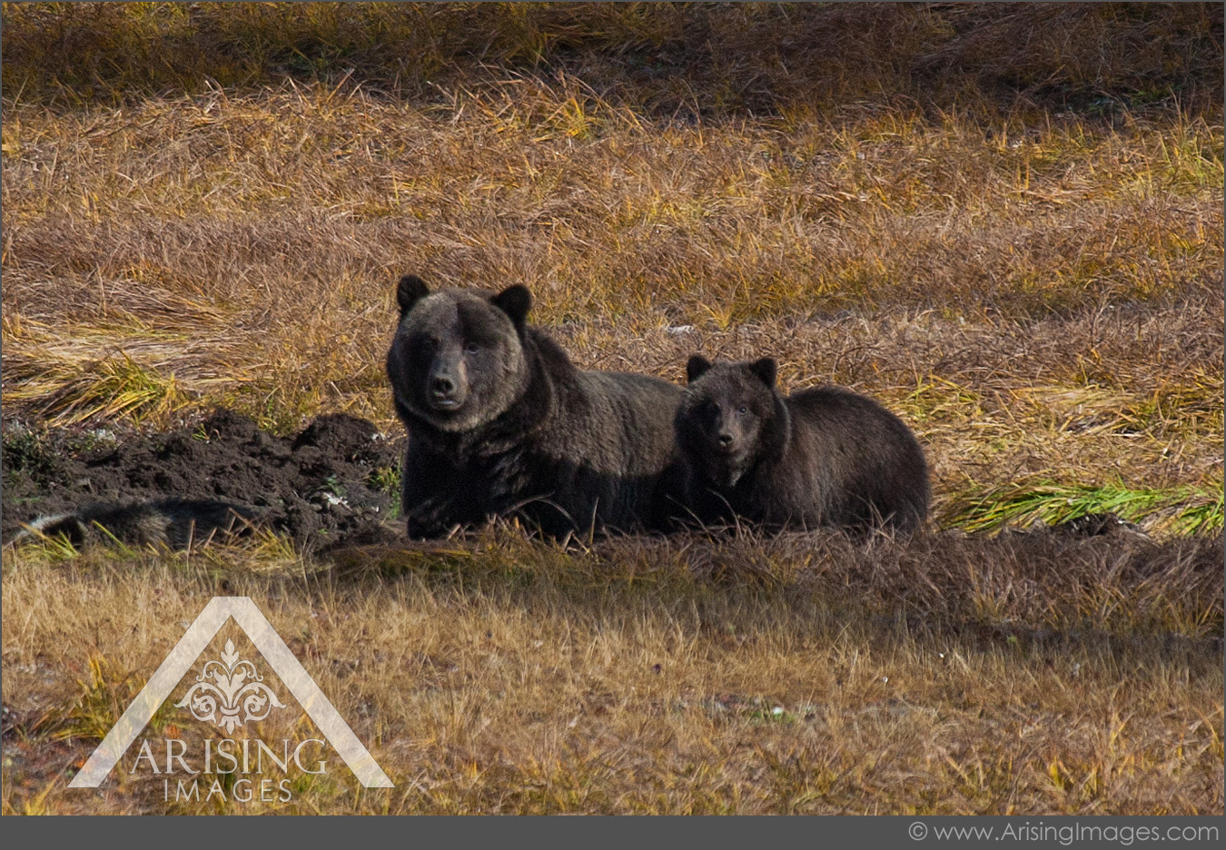 Grizzly Bears, Alberta, Canada