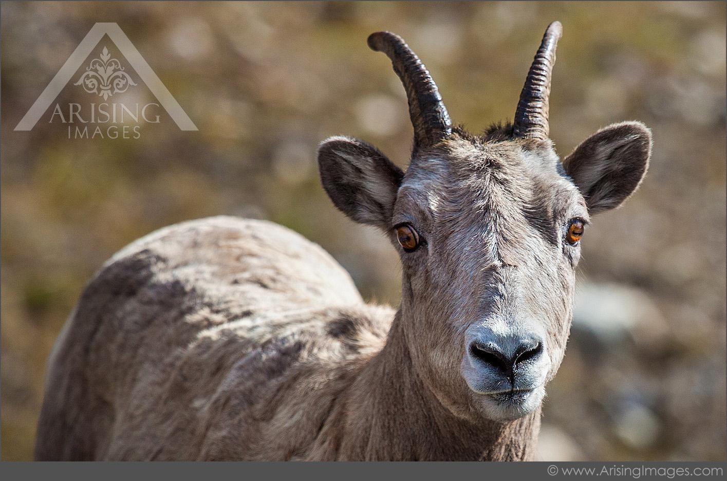 Mountain Goats, Alberta, Canada