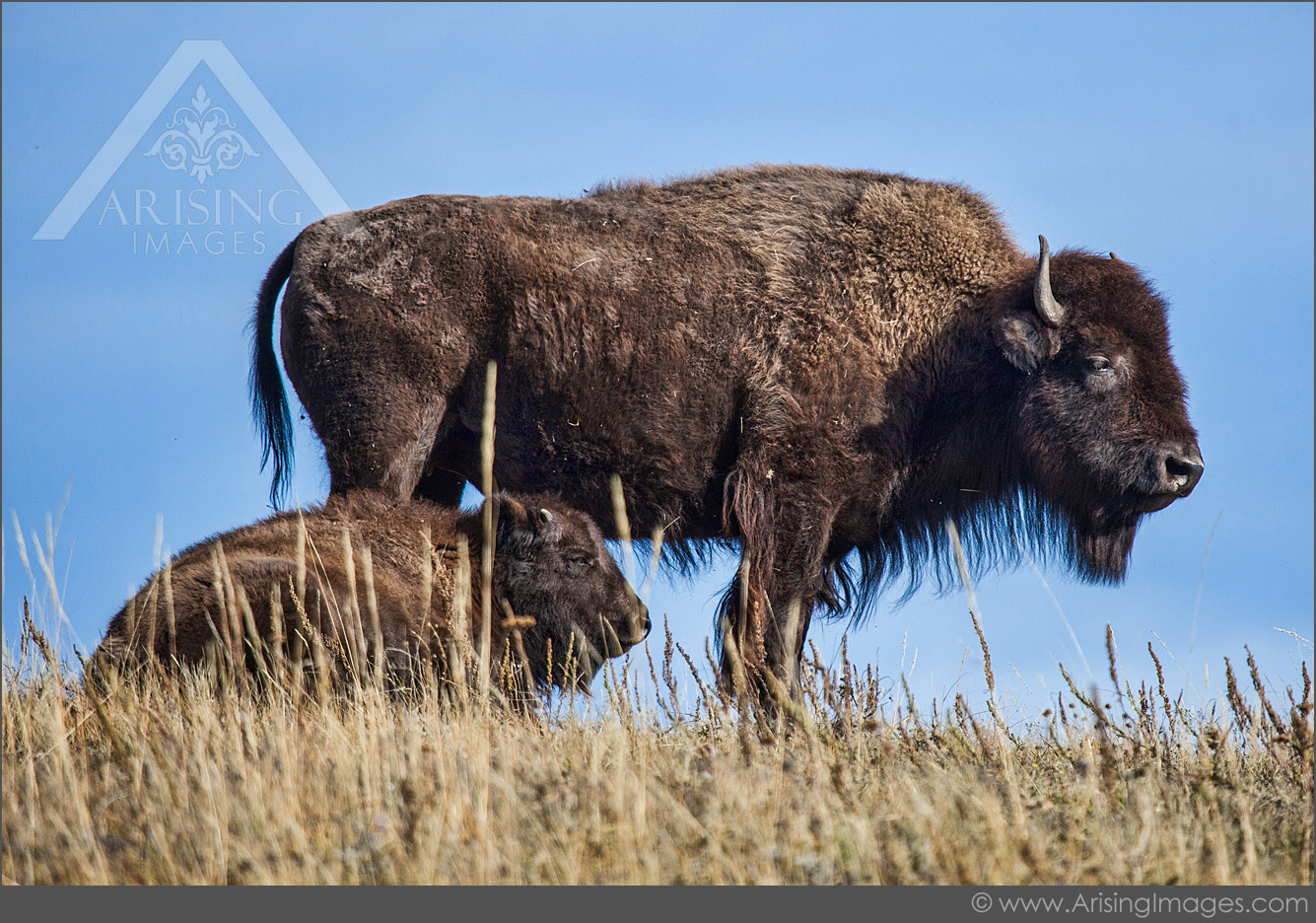 Bison in Waterton Lakes National Park